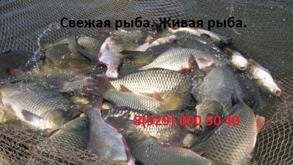zhivaya-i-svezhaya-ryba