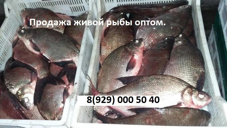 zhivaya-ryba-optom
