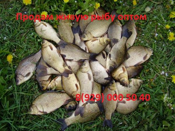 zhivaya-ryba