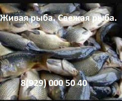 zhivaya-ryba1