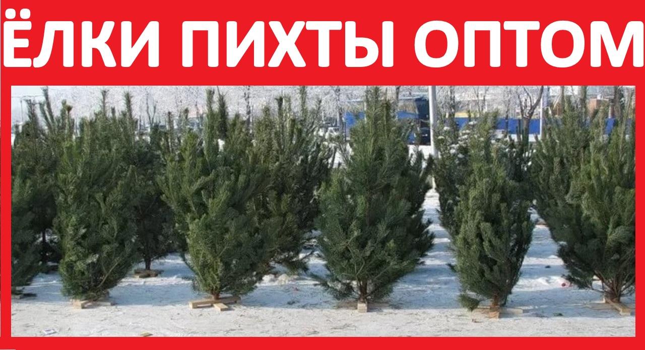 Kupit-Elka-Optom-Pihta-ZHivaya-Novogodnyaya-El-TSena