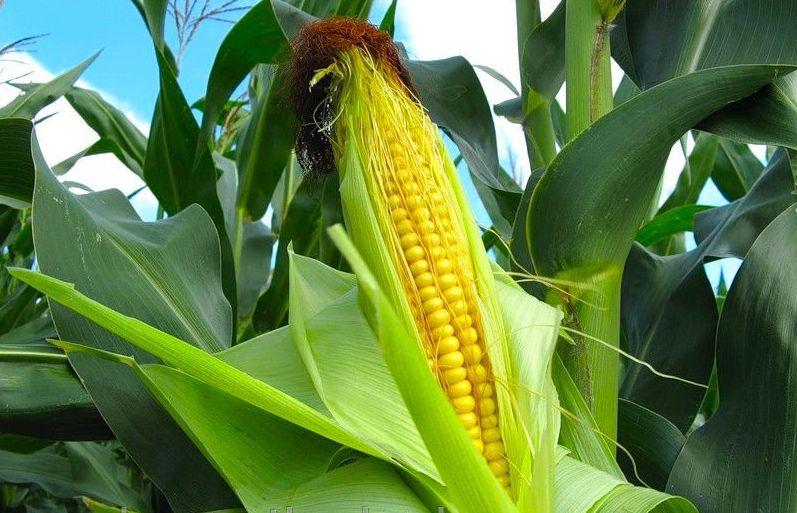 kukuruza-3