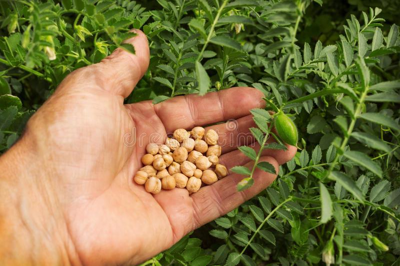 zre-ye-semena-nuta-v-fermere-a-oni-42399800