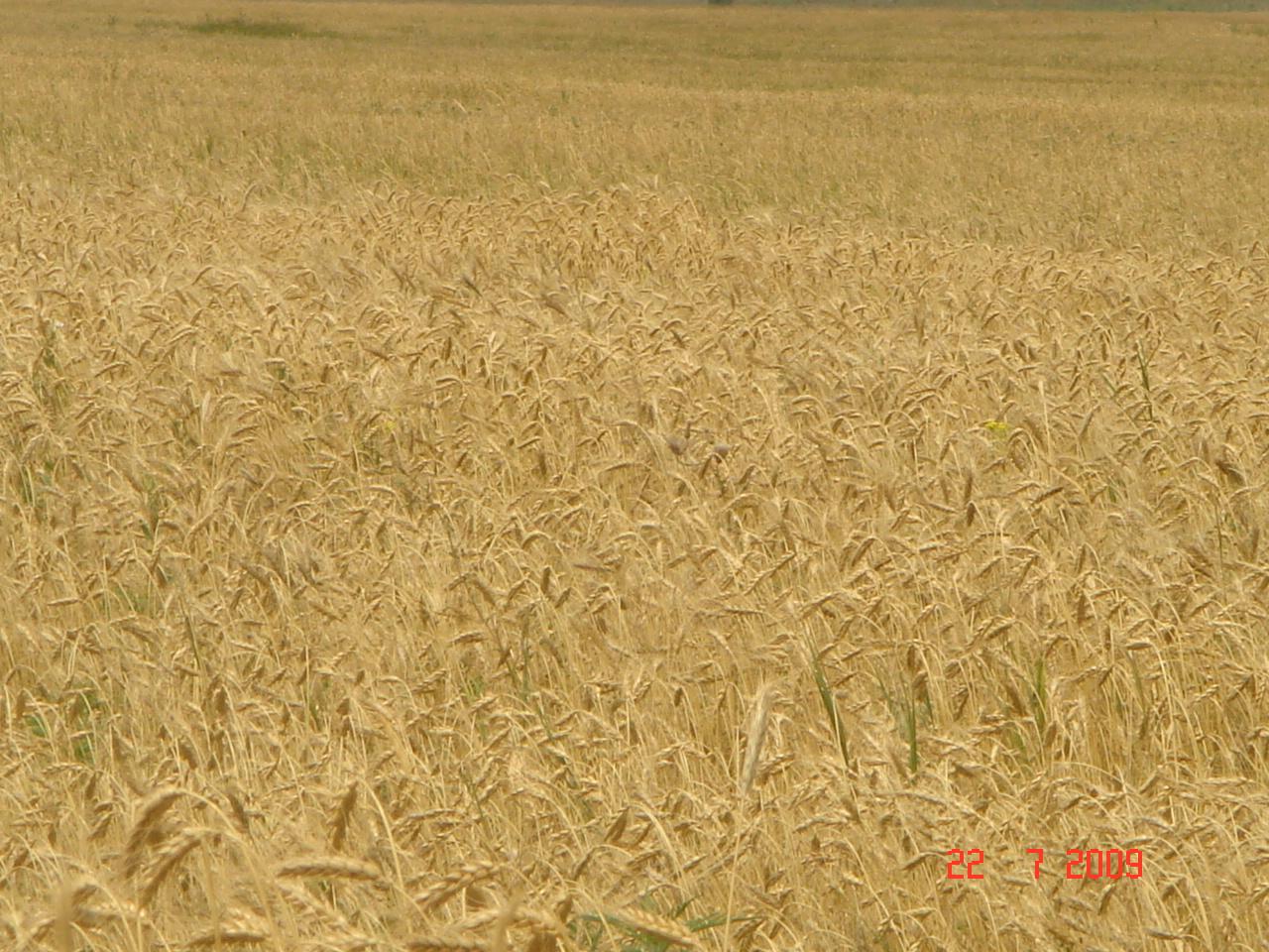 9.Polya-ozimoj-pshenitsy-v-uborku