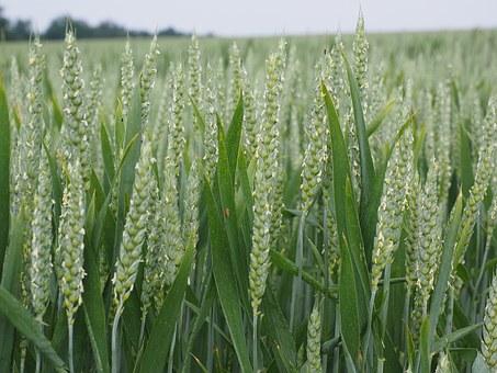 wheat-1355690__340