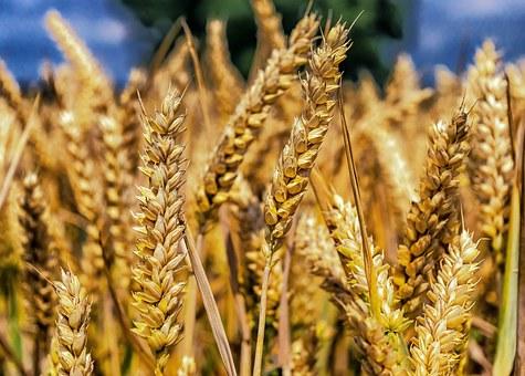 wheat-1506830__340