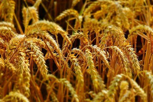 wheat-2536371__340
