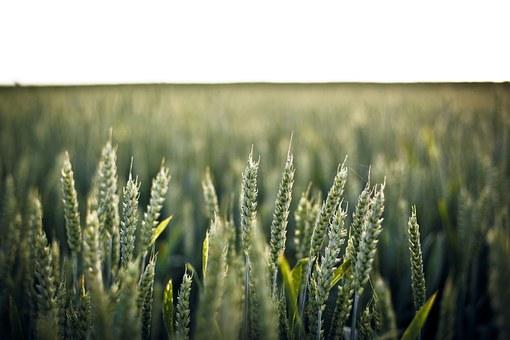 wheat-336520__340