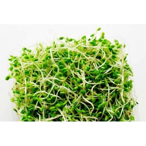 Alfalfa-sprouts-500x500