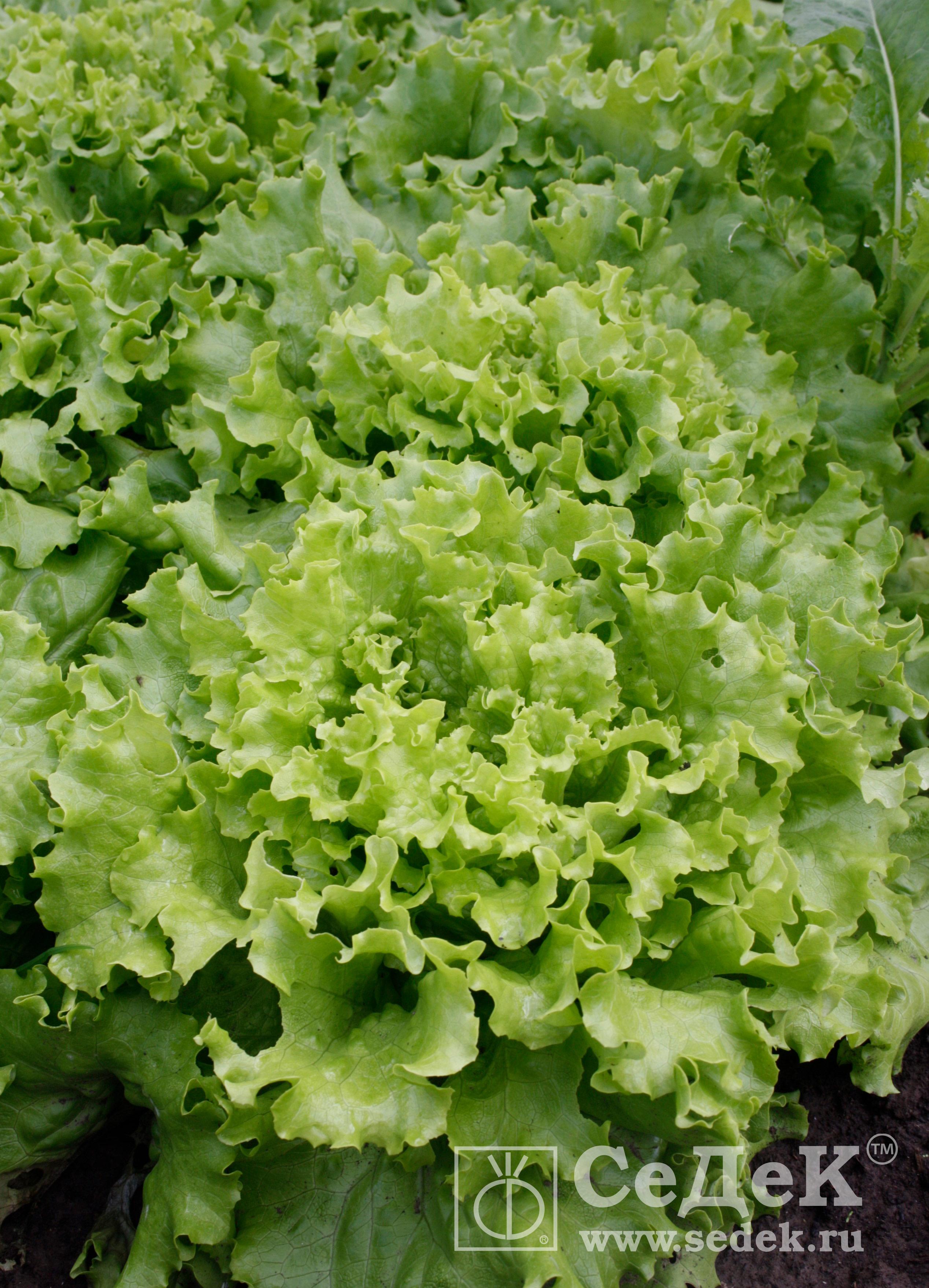 Salat-listovoj-Udacha_logo