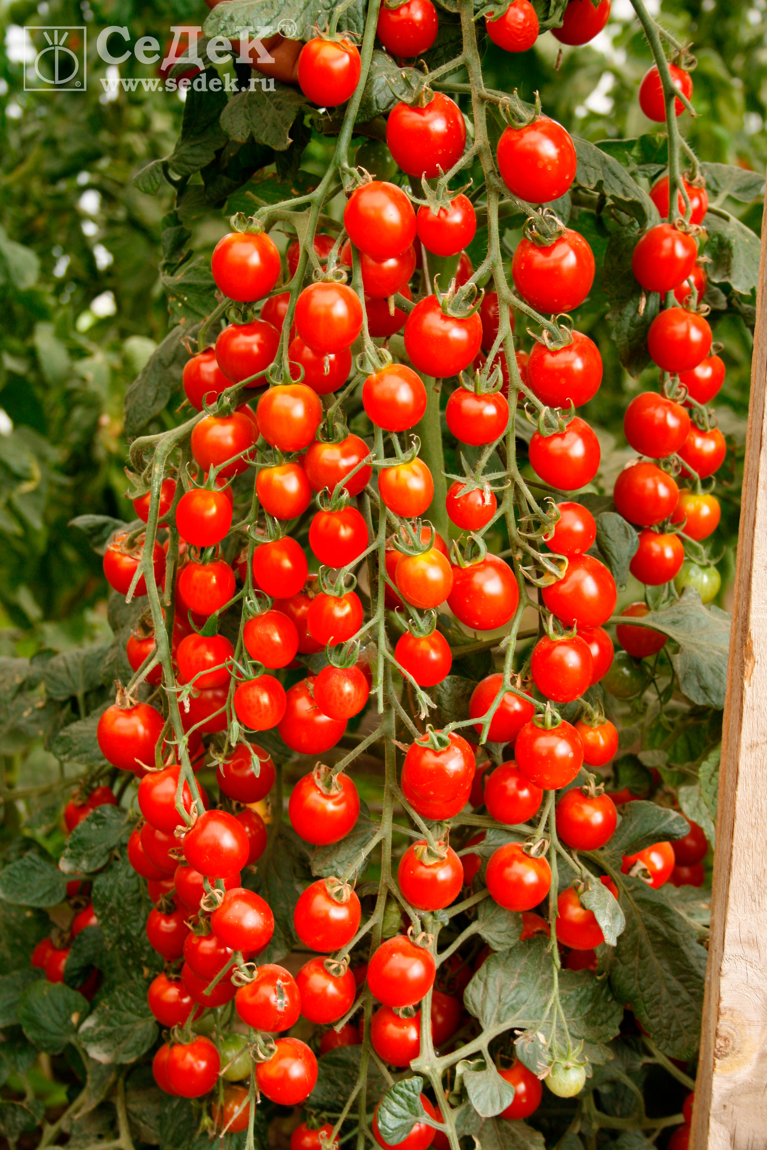 Tomat-Volshebnyj-kaskad-F1_logo