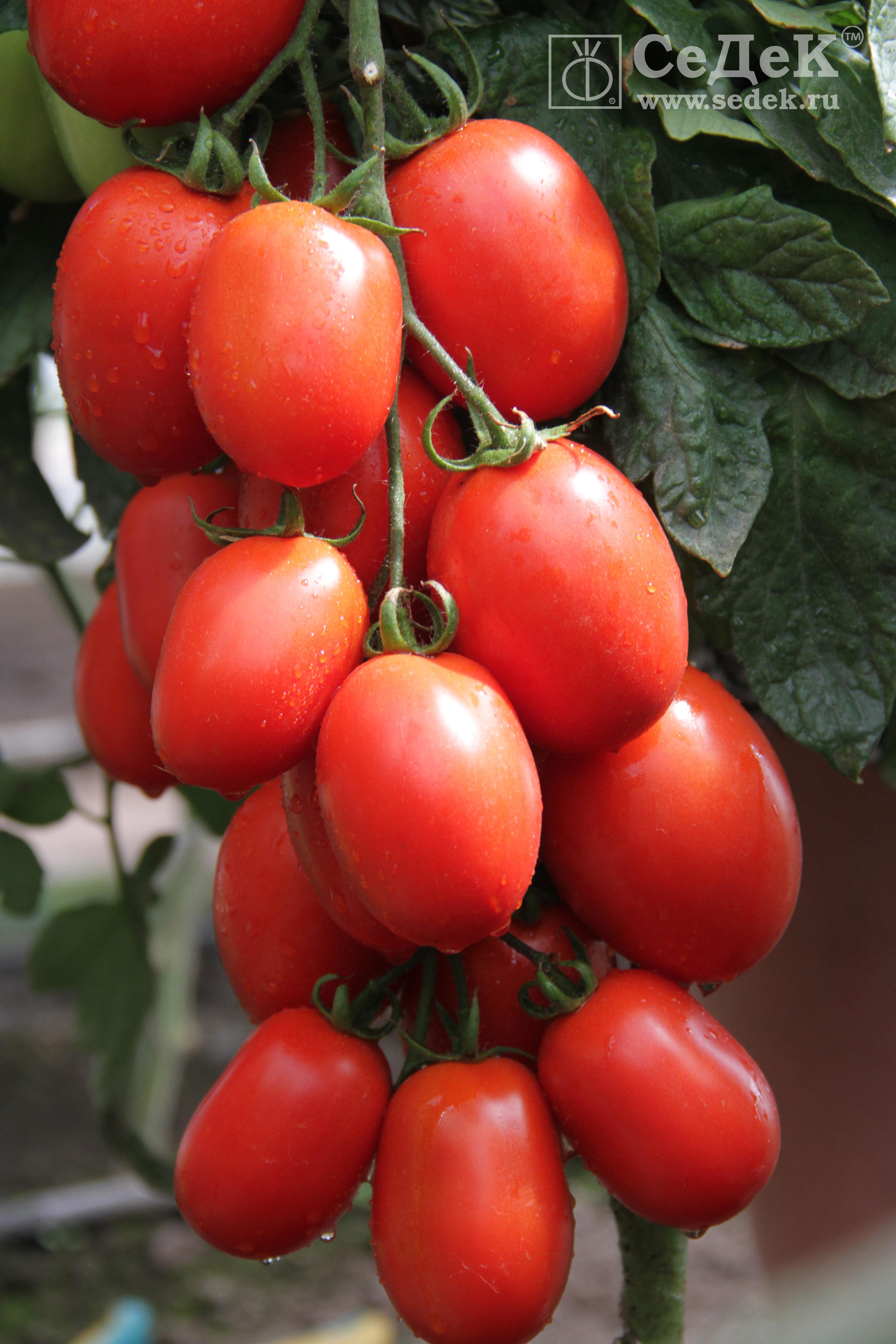 Tomat-ZHeleznaya-ledi-F1_logo