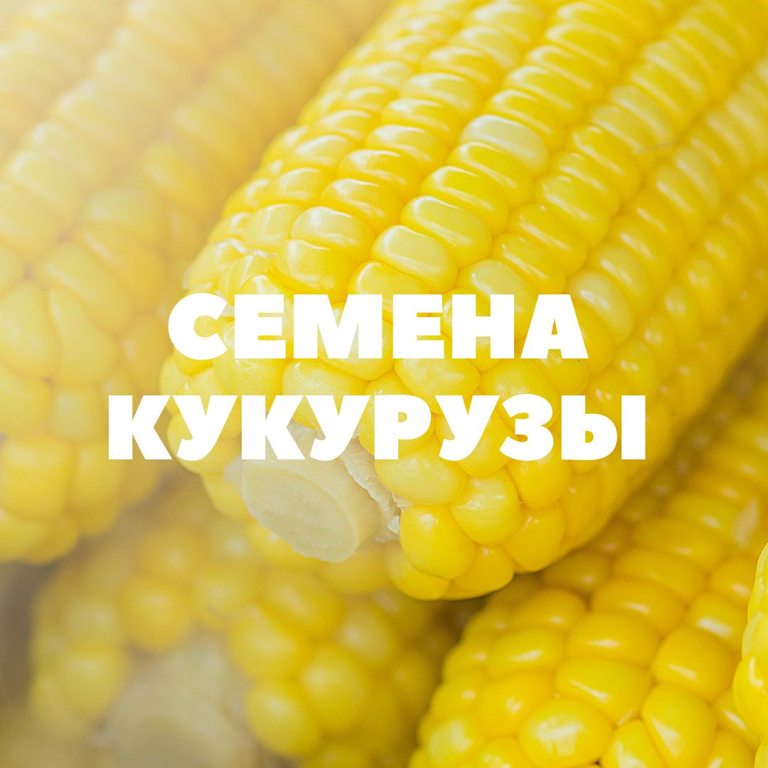 obshhij-kukuruza