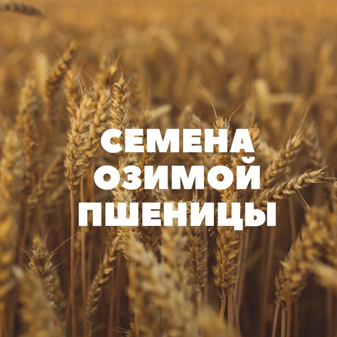 obshhij-ozimaya-pshenitsa