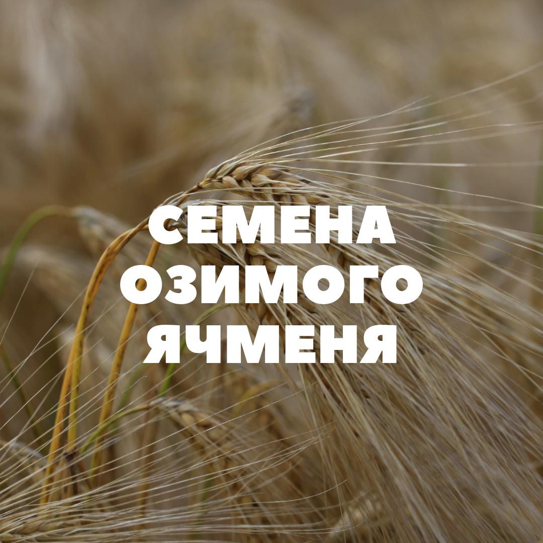 obshhij-ozimyj-yachmen1