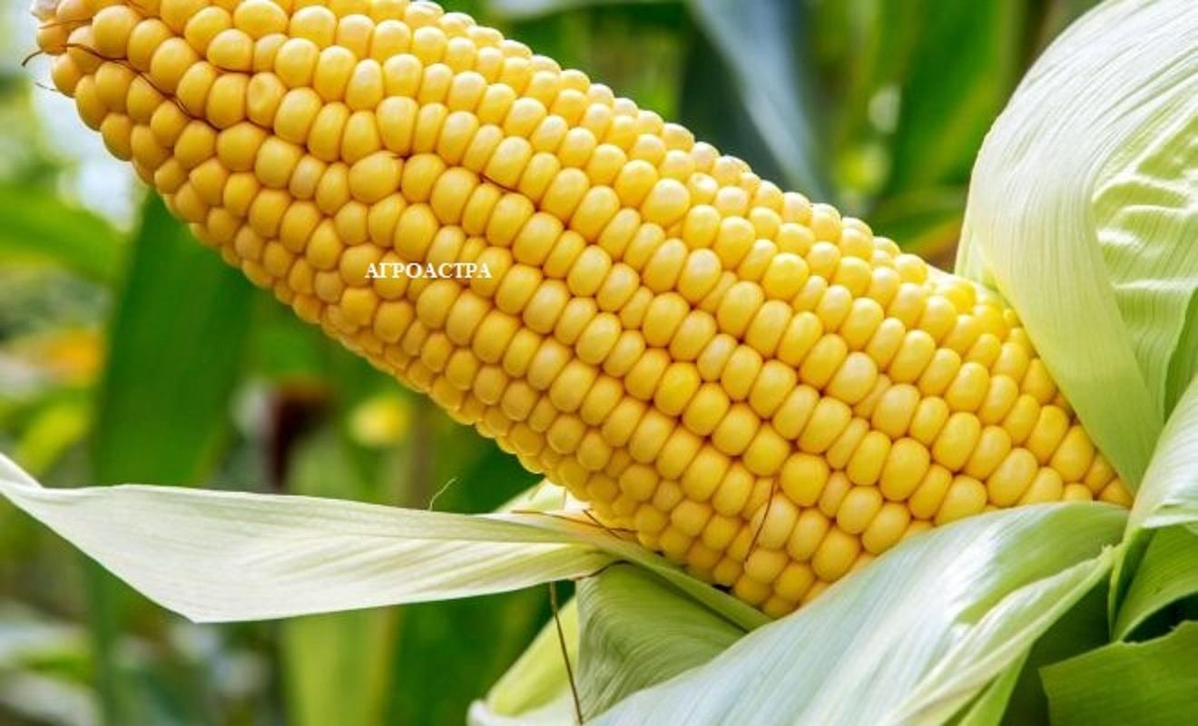 kukuruza-3-kopiya
