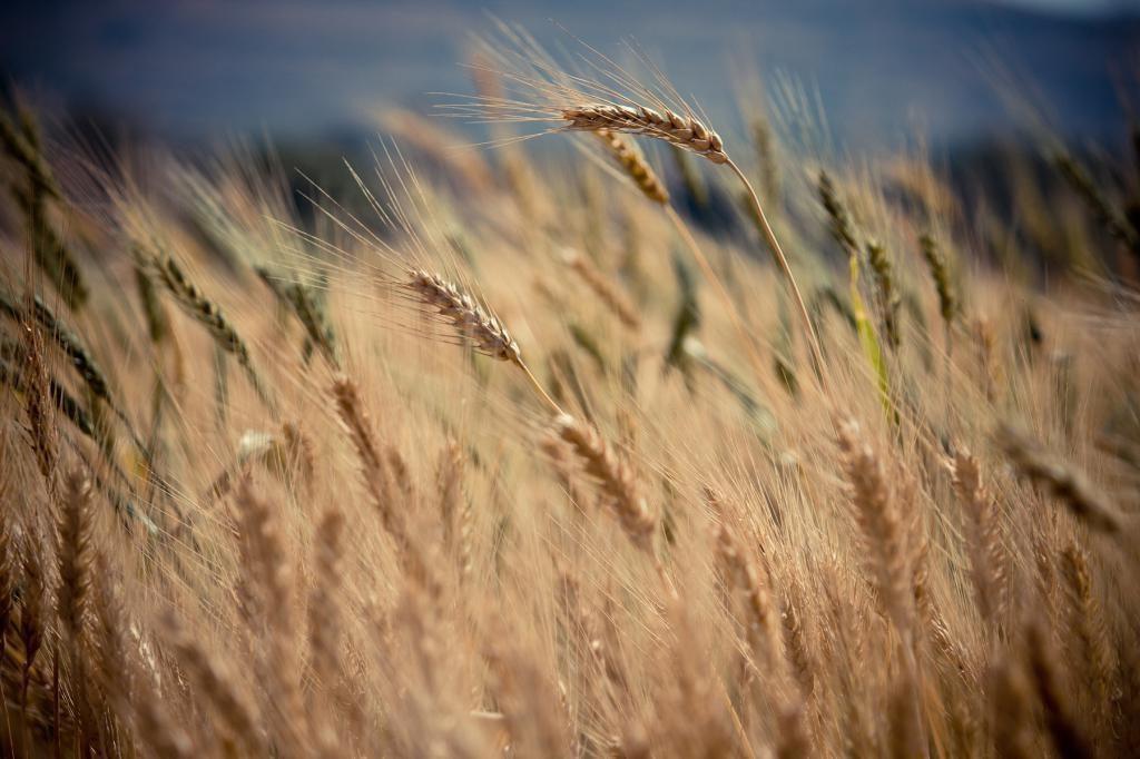 честь пшеница гром характеристика фото камины