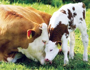 1334308537_mama_cow_and_baby_from_book-reduced_f0cd_ekh0_1