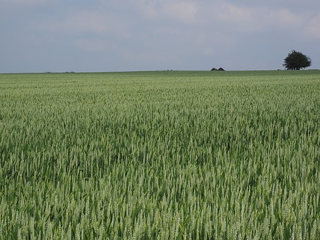 wheat-field-1355680__3402