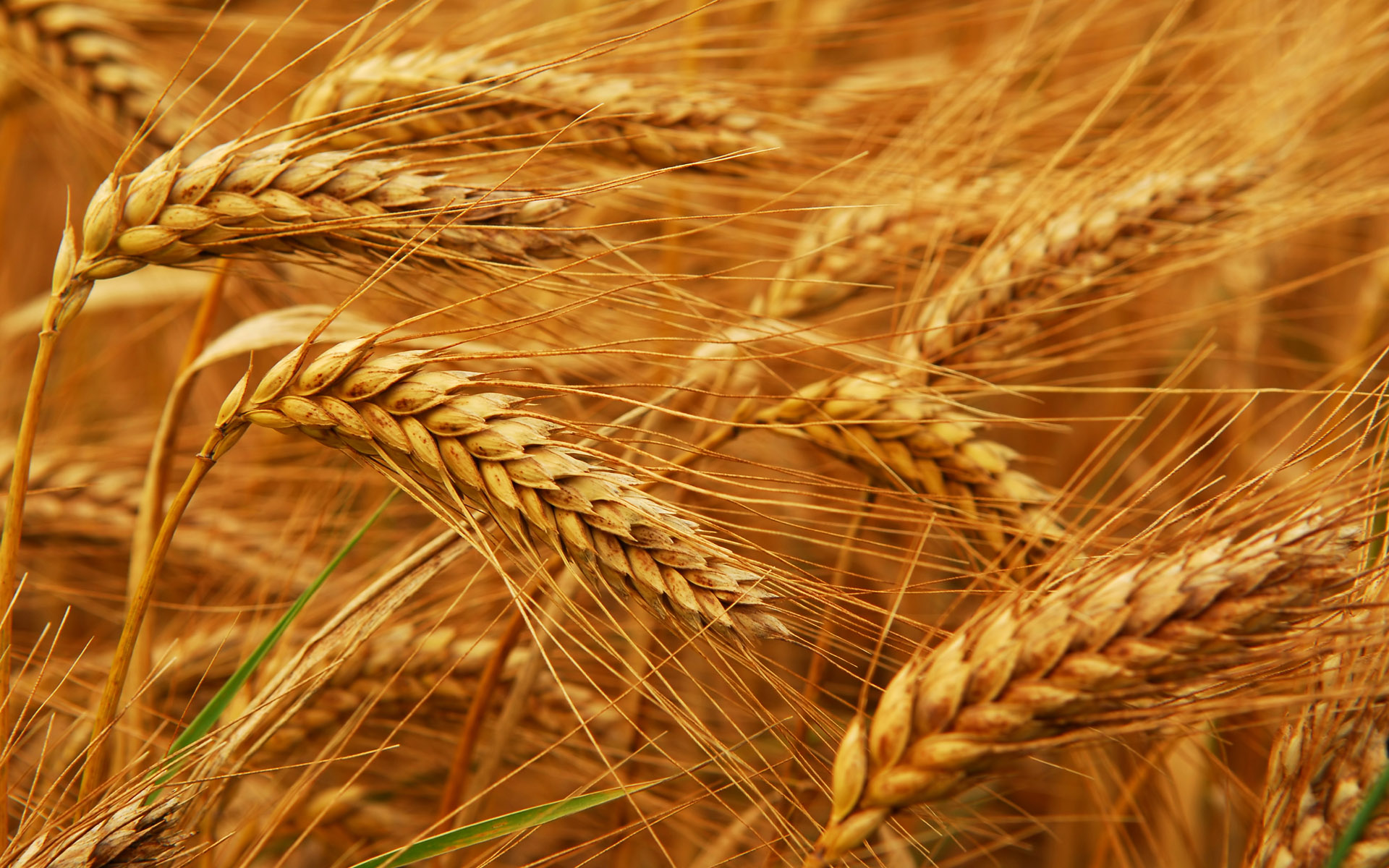 Bread-wheat-genome